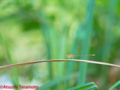 アオモンイトトンボ♀(未成熟個体)(異色型♀)