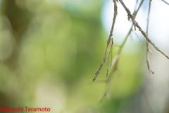 ホソミイトトンボ越冬型♂①