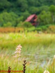 山野草と旧栂池ヒュッテ