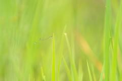 アジアイトトンボ♂
