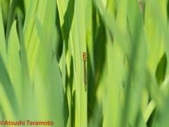 アジアイトトンボ未熟個体♀