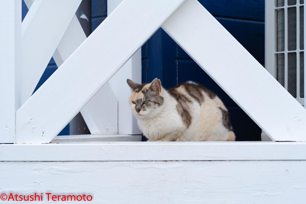 三毛猫(地域猫)