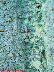 コマダラウスバカゲロウの幼虫