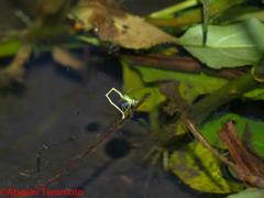 アジアイトトンボ♀(産卵中)