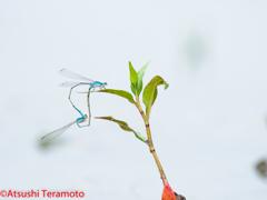 ホソミイトトンボ越冬型交尾態