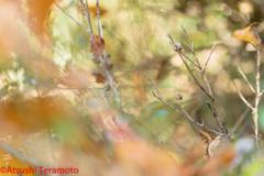 ホソミイトトンボ越冬型♂