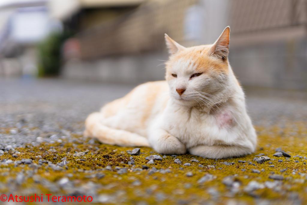 茶色の地域猫