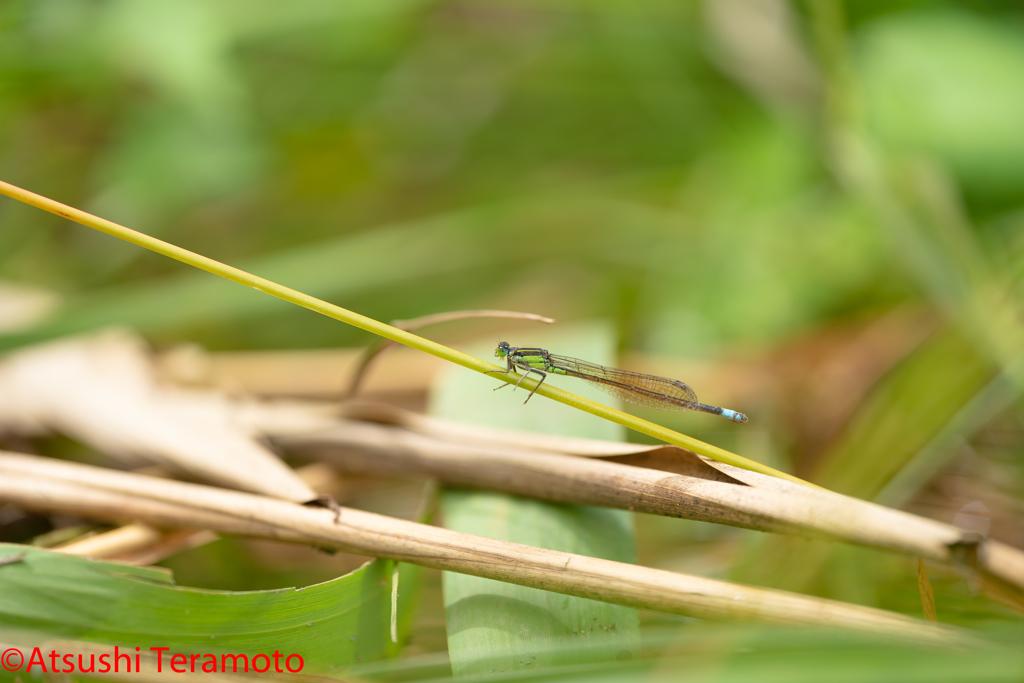 アオモンイトトンボ♂型♀