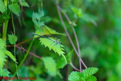 カワトンボsp.無色翅型♂