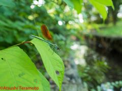 カワトンボsp.橙色翅型♂