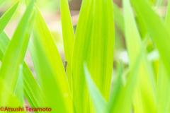 アジアイトトンボ♂(未成熟個体)