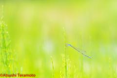 ホソミイトトンボ越冬型♀