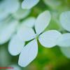 庭の遅咲きのアジサイ