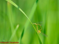 モートンイトトンボ交尾態(未成熟個体♀)
