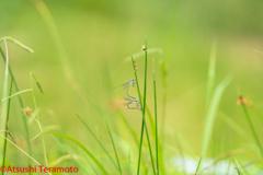 アオイトトンボ連結産卵(メスは♂型♀)