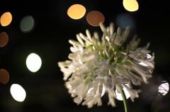 夜に咲く~アバカンサス