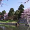 彦根城 大手門の桜