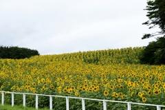 小岩井農場ひまわり 170820 (3)