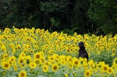 御所湖広域公園ファミリーランドひまわり畑 170820 (2)
