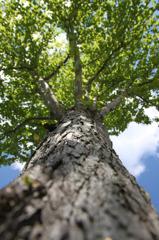 空へのびる新緑の木