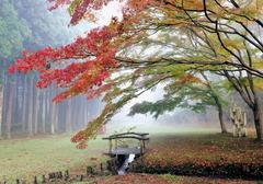 霧もみじ1