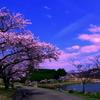 湖畔の桜2