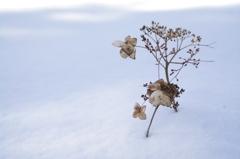 真冬の紫陽花