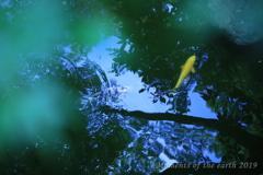 東京都庭園美術館 池の鯉
