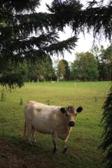 Mason Wines近くの牛 オーストラリアの風景写真