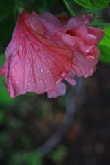 水滴の花 オーストラリアの風景写真