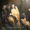 光のススキ 湘南の風景写真 EOS RP RF35mmF1.8