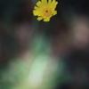 ブリスベンの黄色い花 オーストラリアの風景写真