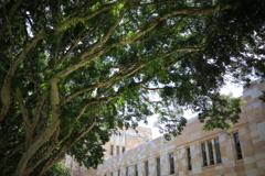 大学の樹木 オーストラリアの風景写真