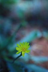 朝の花 オーストラリアの風景写真