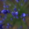 花 オーストラリアの風景写真