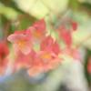 ピンク色の花 オーストラリアの風景写真