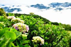 紫陽花と雲海