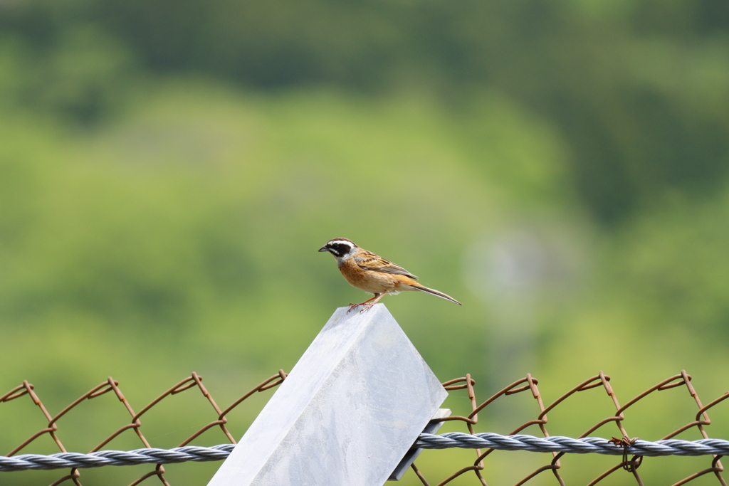 富士スピードウェイの野鳥11-1