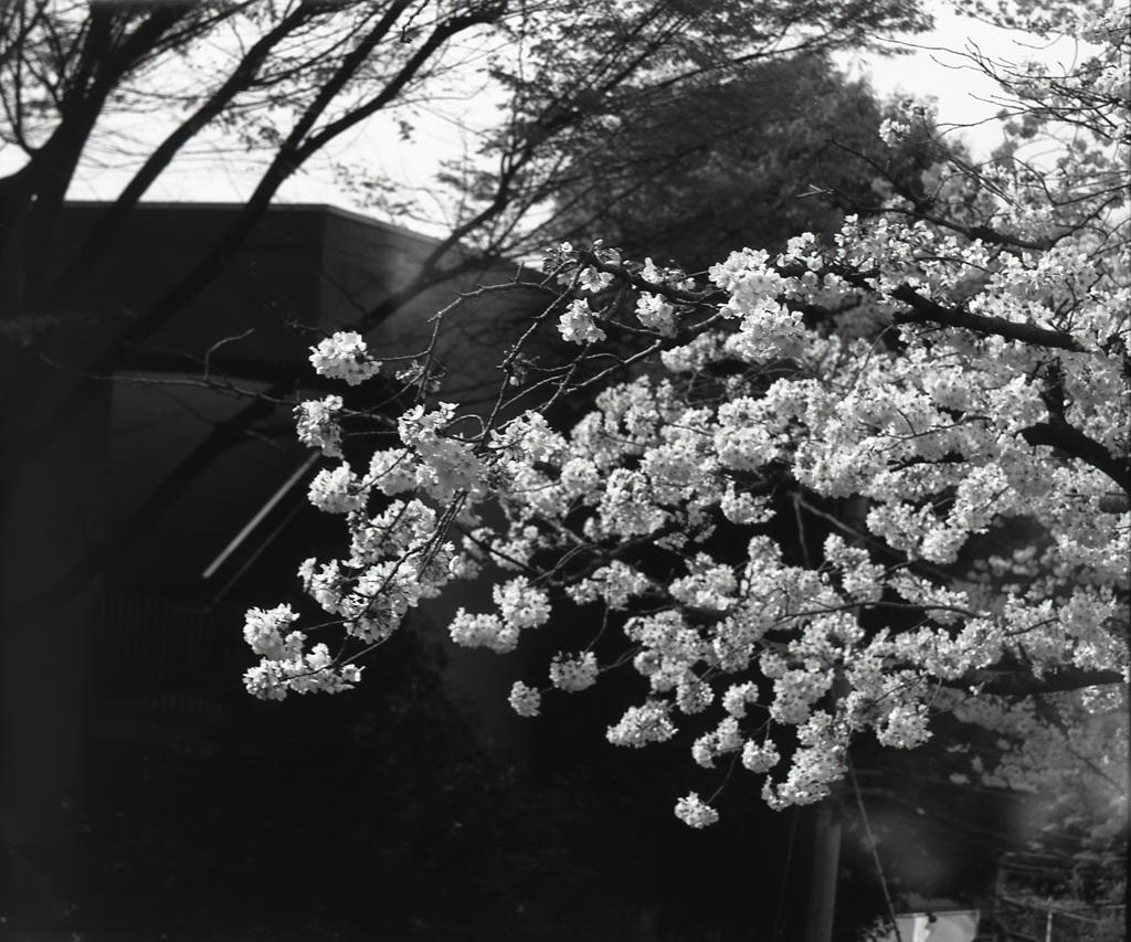 「桜: monochrome」 (film:HR20)