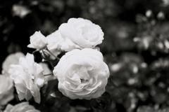 「Rose」 (film:HR20)