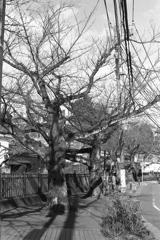 「春を待つ 桜並木」 (film)