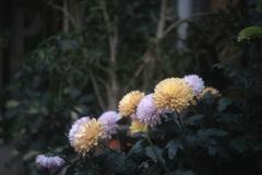 「chrysanthemum」 (digital)