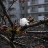 「3/19 咲き始め:大岡川」 (digital)