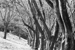 「春を待つ 桜の森」 (film)