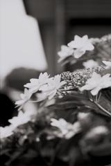 「紫陽花」 (film:HR20)