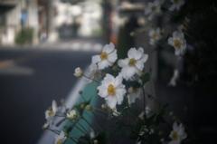 「花の命」 (digital)