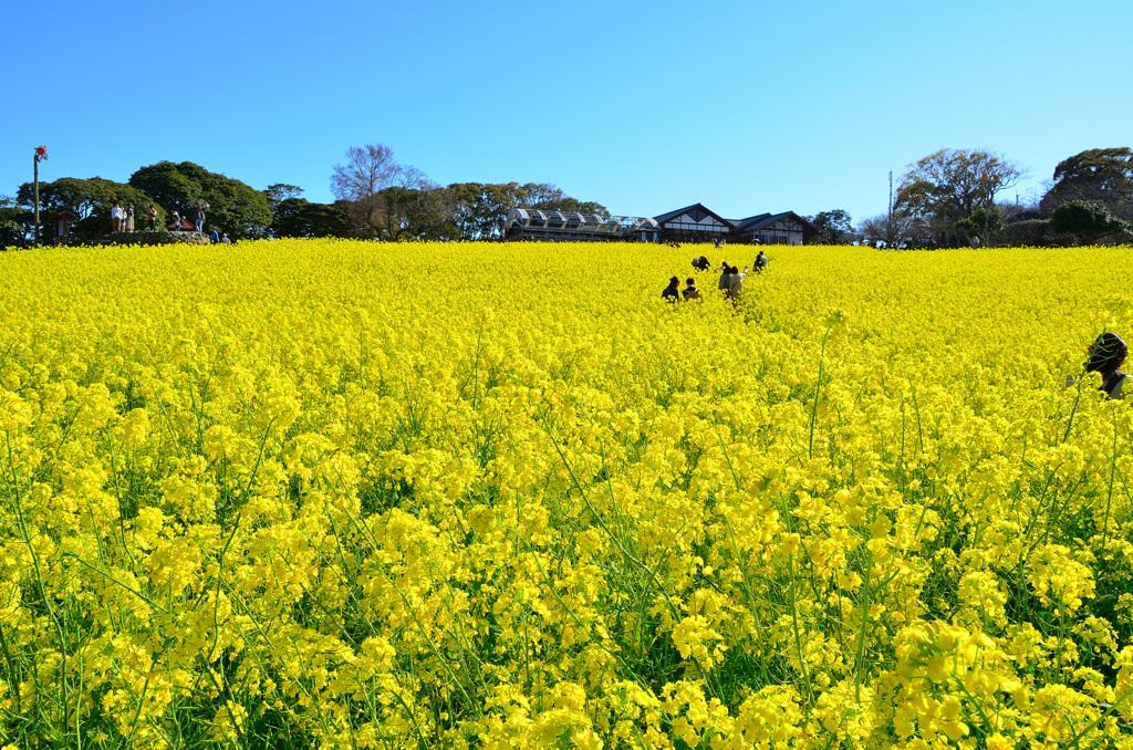 能古島2020 菜の花⑤