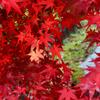 渓石園2018 11月-2 紅葉④