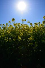 能古島2020 光る菜の花