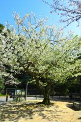 足立公園2020 4月-1 大島桜①